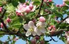 Дикие предки современных яблок из Казахстана
