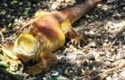 Игуана галапагосская наземная