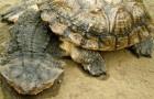 Матамата (Бахромчатая черепаха)