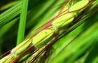 Натуральный способ защиты риса