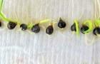 Вымачивание семян