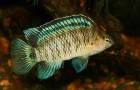 Бадис бадис. Рыба-хамелеон
