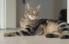 Бразильская короткошерстная кошка (BRA, BSH)