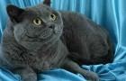 Британская короткошерстная кошка (BRI)