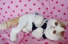Экзотическая короткошерстная кошка (EXO)