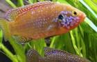 Хемихромис красный или Красная цихлида
