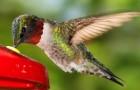 Исполинский колибри