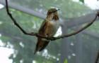 Колибри-каллиопа