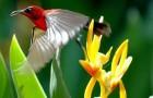 Красногорлая нектарница