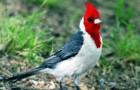 Красногрудый кардинал