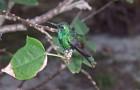 Кубинский изумрудный колибри