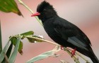 Мадагаскарский восточный или Черный бюльбюль