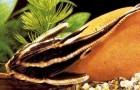 Платидорас полосатый