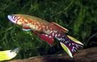 Ролоффия гвинейская