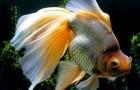 """Рыбка золотая """"Вуалехвост"""""""