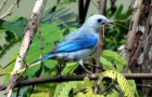 Серо-голубая танагра