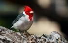 Серый или краснохохлый кардинал