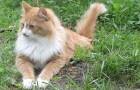Сибирская (Невская маскарадная) кошка (SIB)