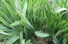 Выращивание лука-слизуна