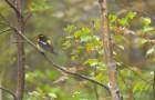 Японская желтоспинная мухоловка