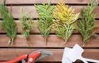10 июля 2015 года: черенкуем хвойные растения