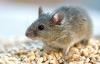 30 августа 2015 года: защита грядок от мышей