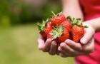 6 июля 2015 года: у клубники созревают ягоды