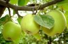 6 марта 2015 года: обрезка взрослых яблонь