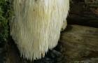 Львиная грива – гриб для отличной памяти и настроения