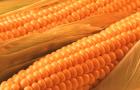 Оранжевая кукуруза – ответ селекционеров слепоте