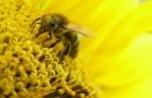 Рост аллергии на пыльцу в ближайшие сто лет