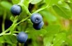 Несколько причин посадить у себя в саду чернику