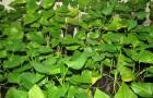 Листья сладкого картофеля – источник жизненно важных витаминов