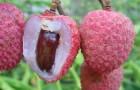 Плоды личи могут быть причиной смертельной болезни
