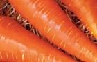 Лучший сорт моркови